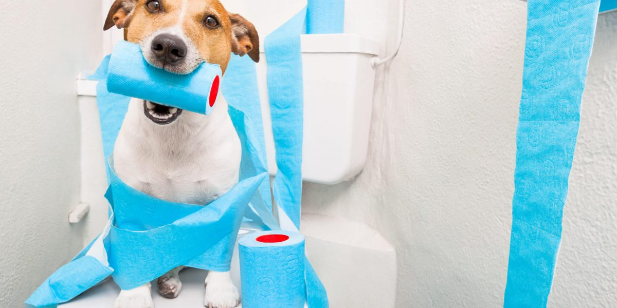 jack russell terrier, sitting on a toilet seat with digestion problems or constipation looking very sad and toilet paper rolls everywhere one  roll in mouth