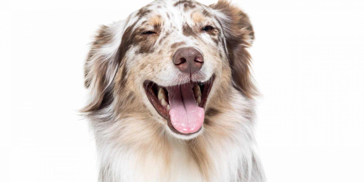 Australian Shepherd dog sitting isolated in white background laughing