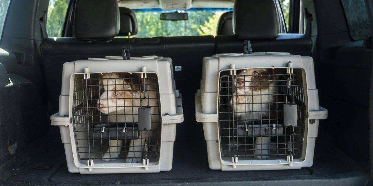 Two cages for the transport of animals in the trunk of the car. Inside are two puppies. Transportation of live animals.