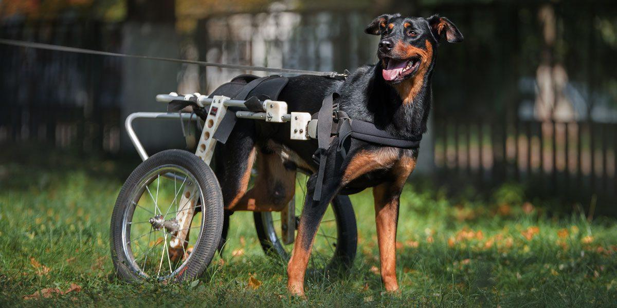 Handicap Hunde