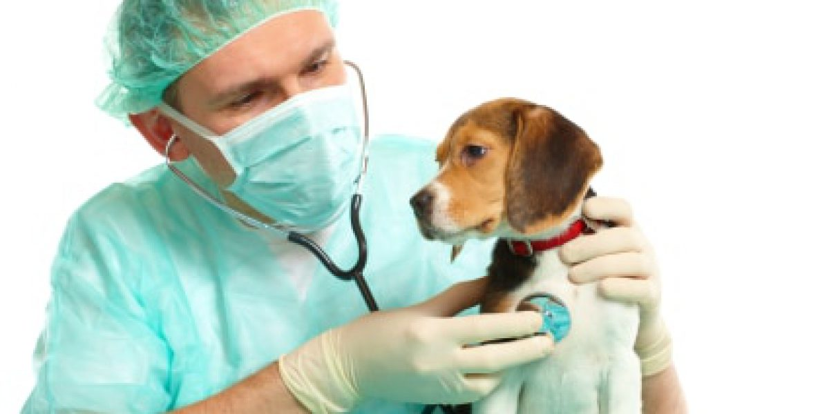 Veterinarian surgeon doctor making a checkup of a begle puppy dog